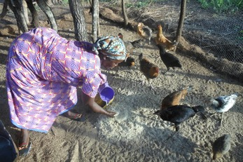 Chickens in Chipata